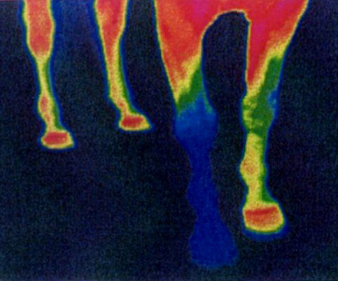This is a thermograph of the blood circulation in the legs and hooves